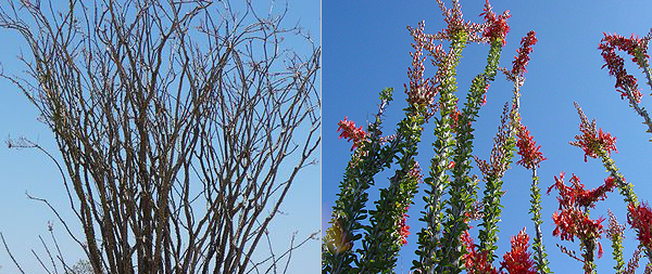 Ocotillo Dormant And In Bloom Picture